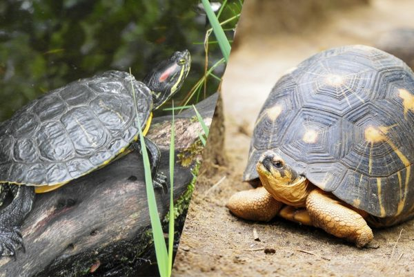 Choisir une tortue terrestre ou aquatique ?