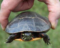 Quelle espèce de tortue choisir quand on débute ?
