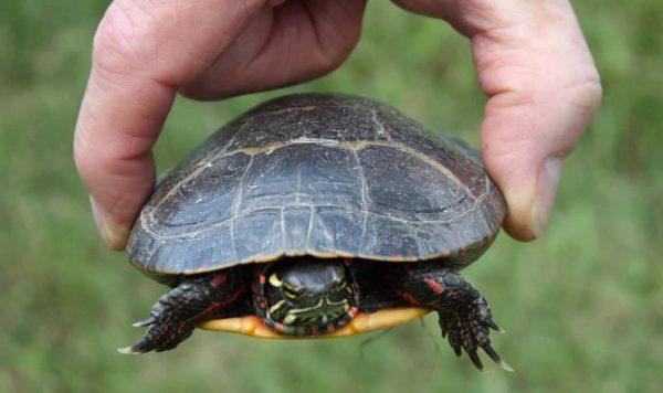 Quelle espèce de tortue pour débuter ?