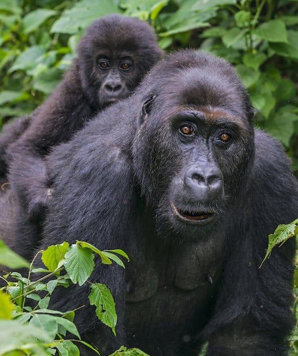 gorille plaines orientales