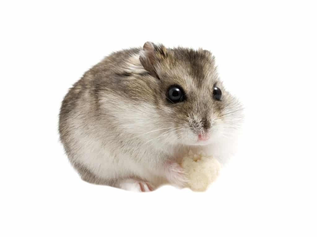 hamster campbell