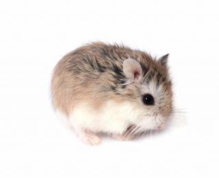 Le Hamster Roborovski