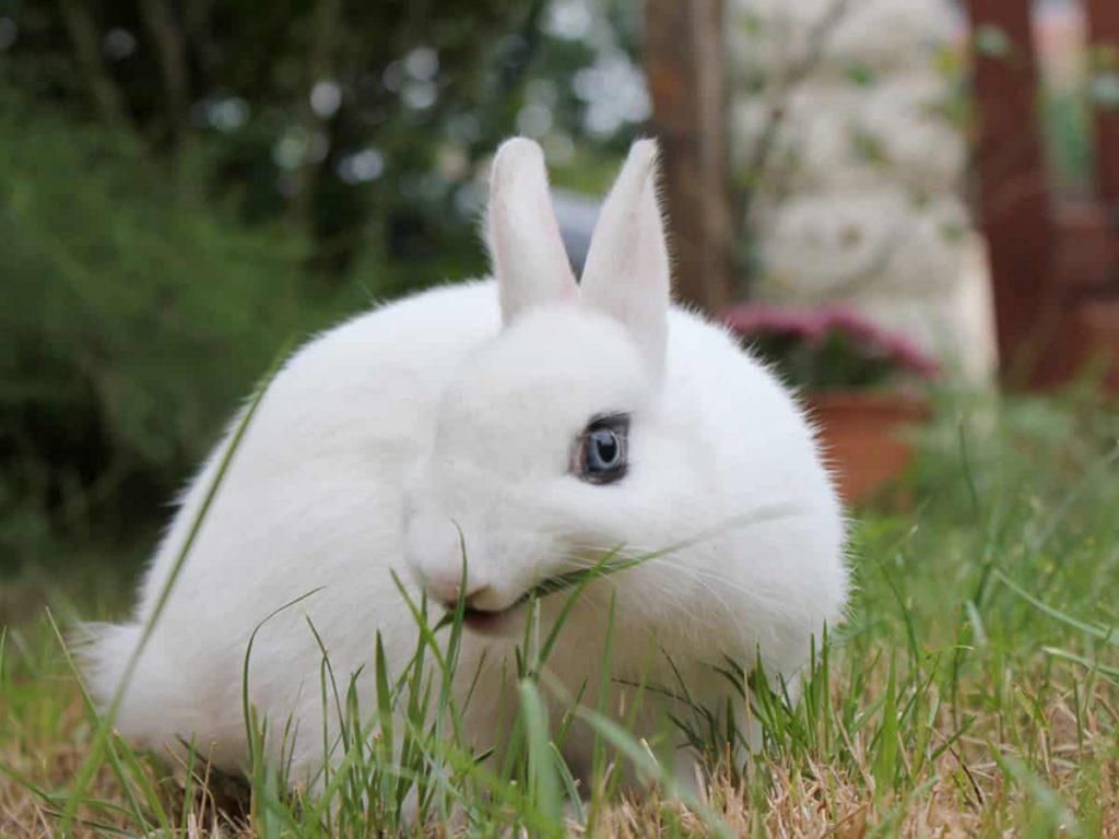 lapin nain blanc yeux bleus