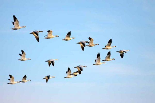Comment les oiseaux retrouvent-ils leur nid ?