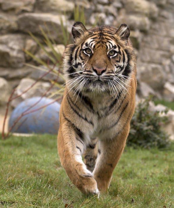 Le tigre de sumatra