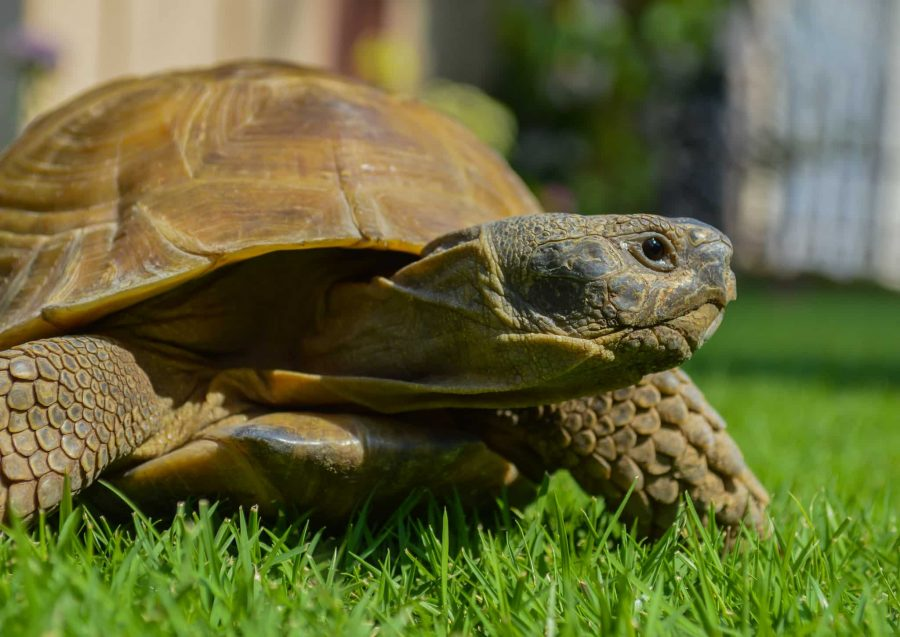 Puis-je mettre ma tortue terrestre dans mon jardin ?