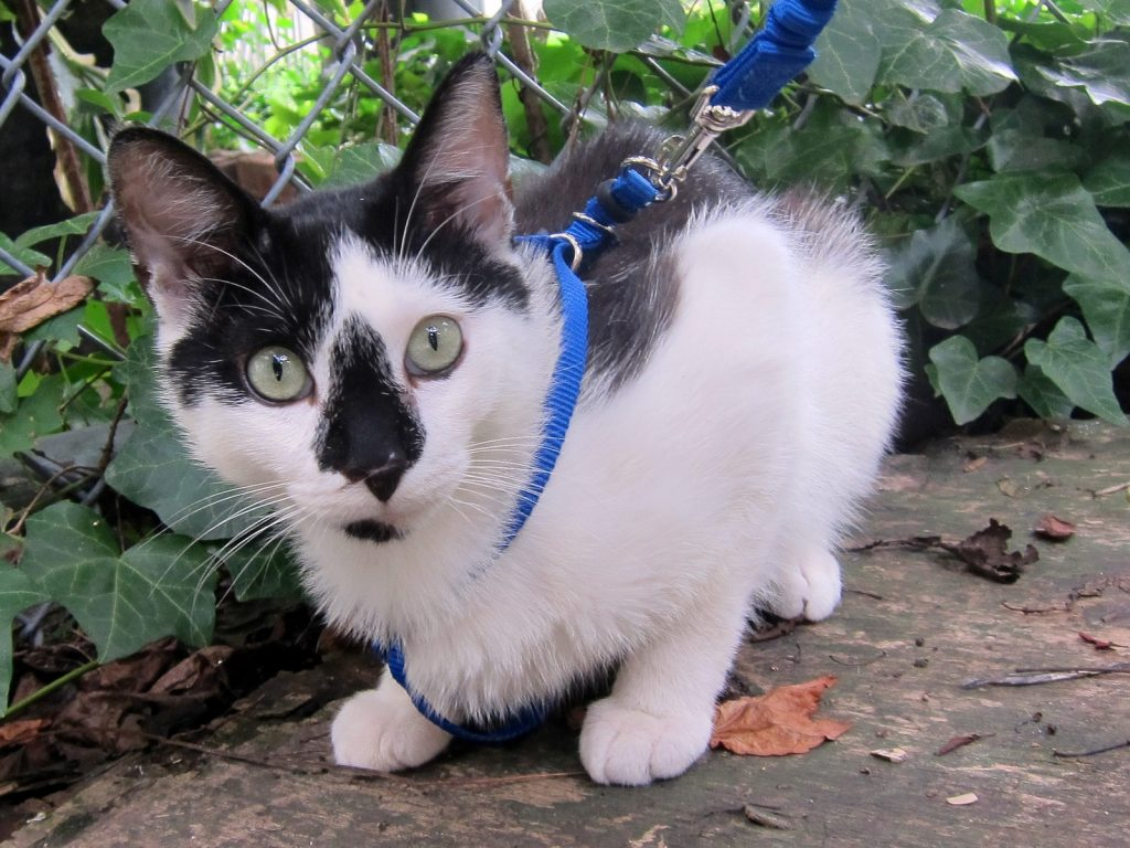 chat avec laisse et harnais