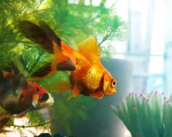 Choisir un aquarium pour son poisson rouge