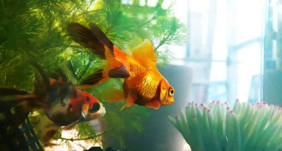 poissons rouges quel aquarium choisir. Black Bedroom Furniture Sets. Home Design Ideas