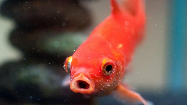 L'eau des poissons rouges