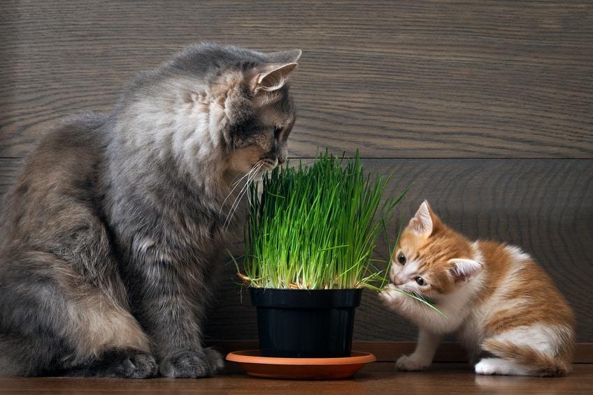 herbe chat quels effets pour le chat. Black Bedroom Furniture Sets. Home Design Ideas