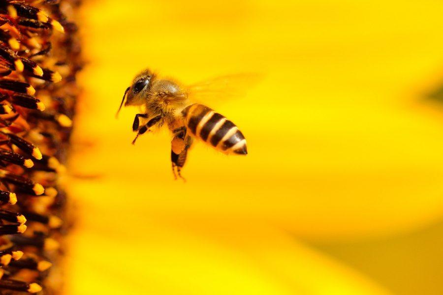 Les colonies d'abeilles et comment les aider