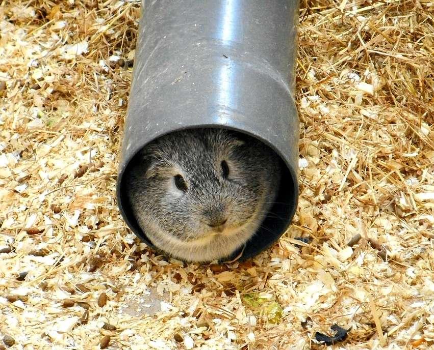 cochon d'inde dans un tuyau
