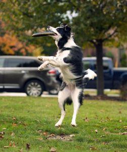 chien joue au frisbee