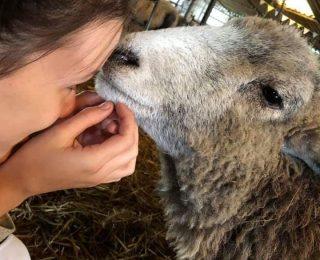 Adopter un mouton : ce qu'il faut savoir