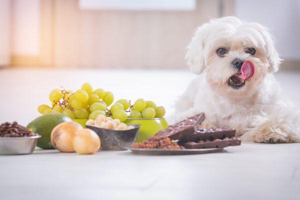 Aliments dangereux pour chien : les aliments à connaître