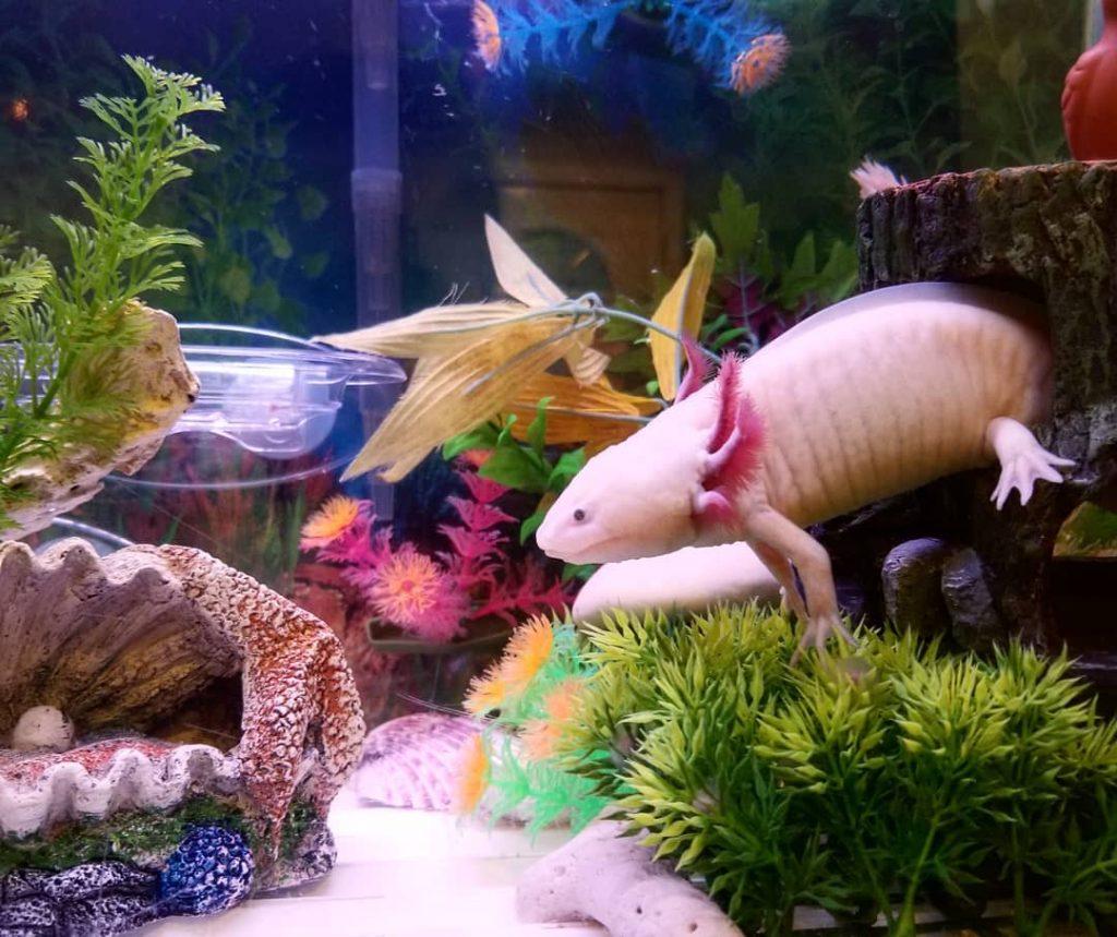 Axolotl dans un aquarium