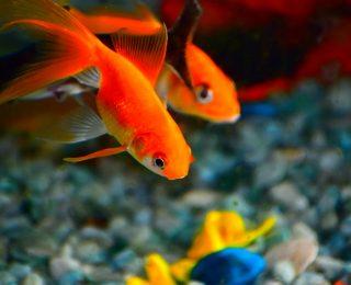 7 Maladies courantes chez les poissons
