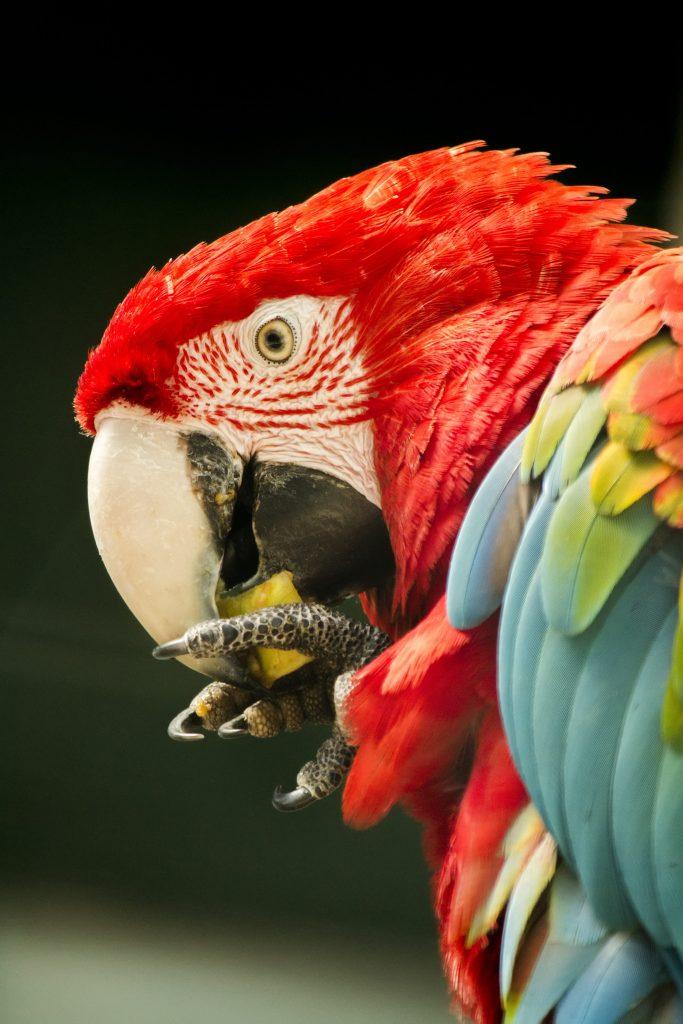 perroquet macao qui mange un fruit