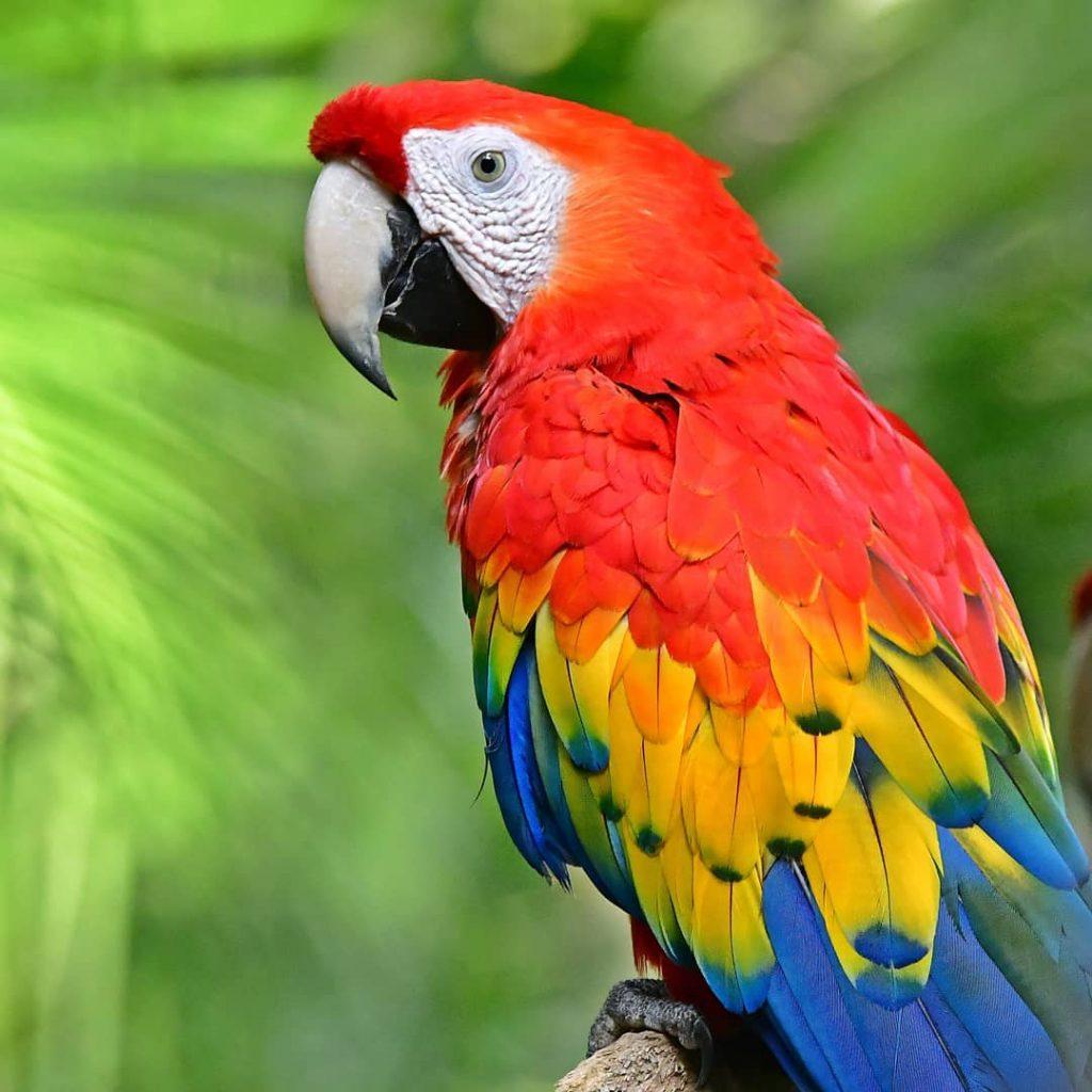 ara rouge perroquet