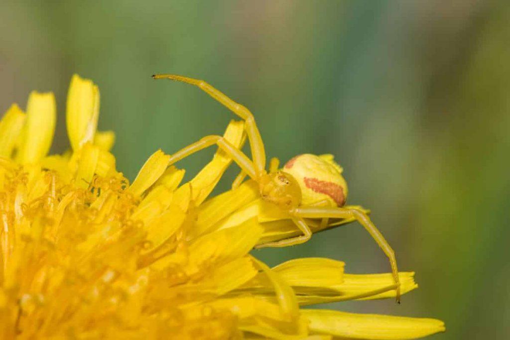 araignée crabe thomise