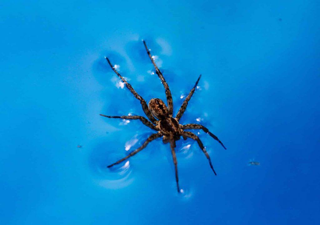 araignée qui marche sur l'eau