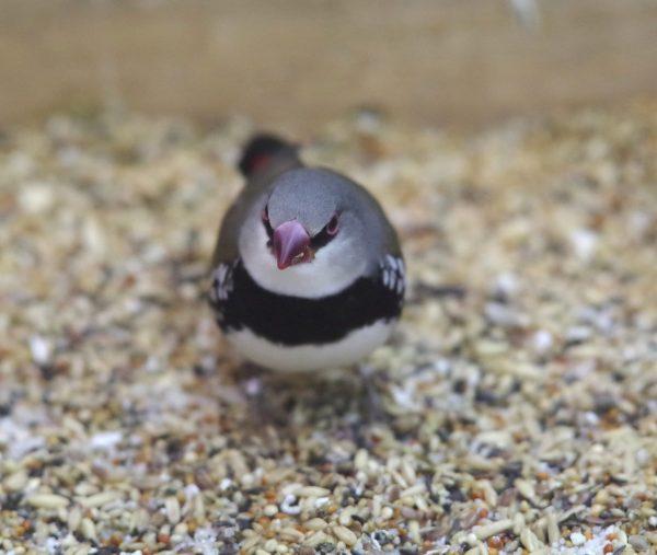 Les maladies des oiseaux exotiques