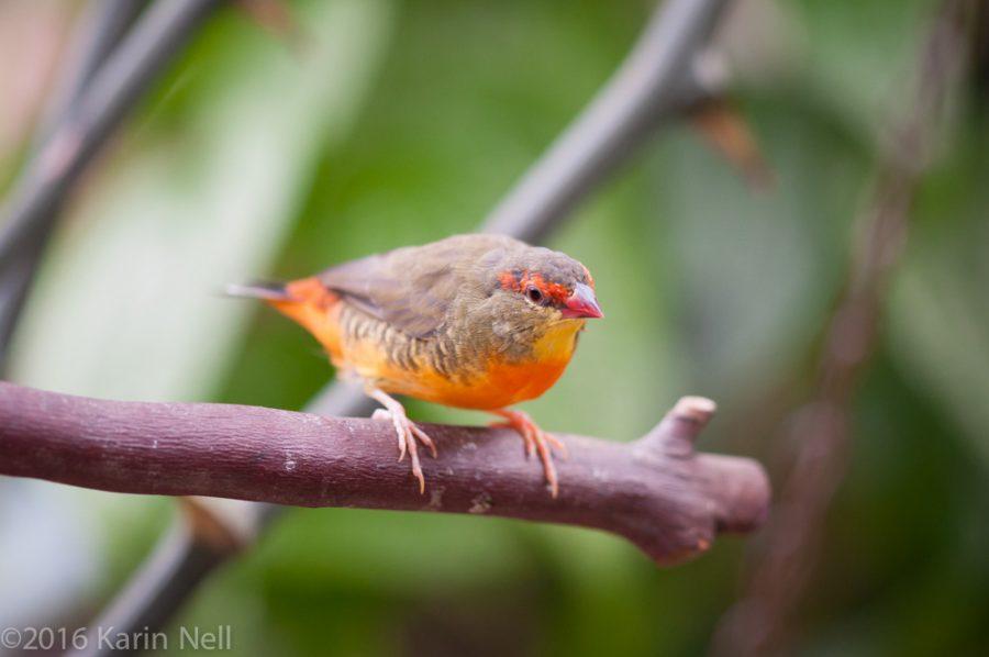 L'Astrild à ventre orange