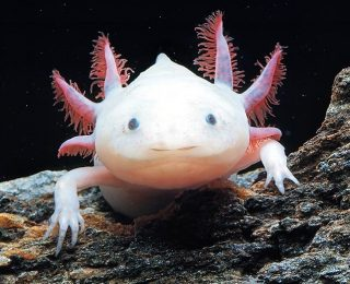 Qu'est-ce qu'un axolotl ?