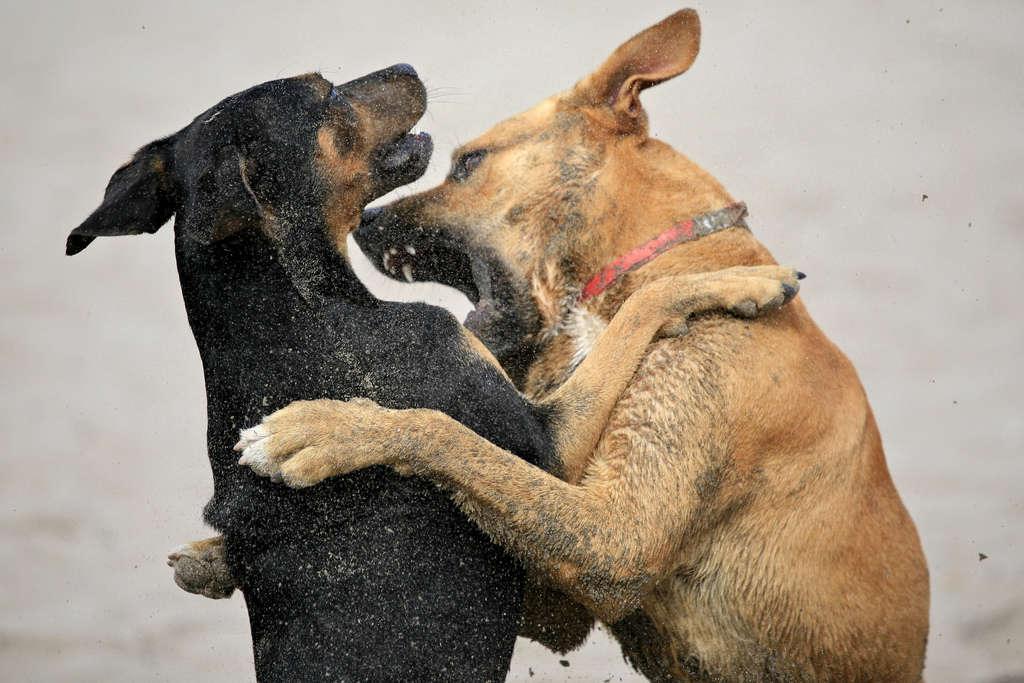 chiens qui se bagarrent