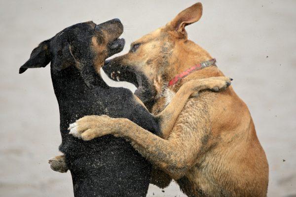 Séparer des chiens qui se bagarrent
