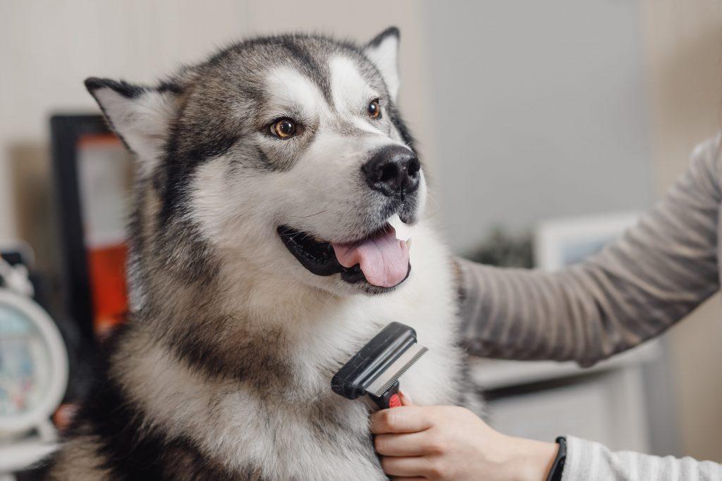 brossage du chien husky