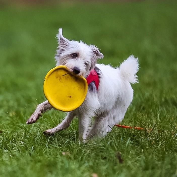 cairn terrier joue