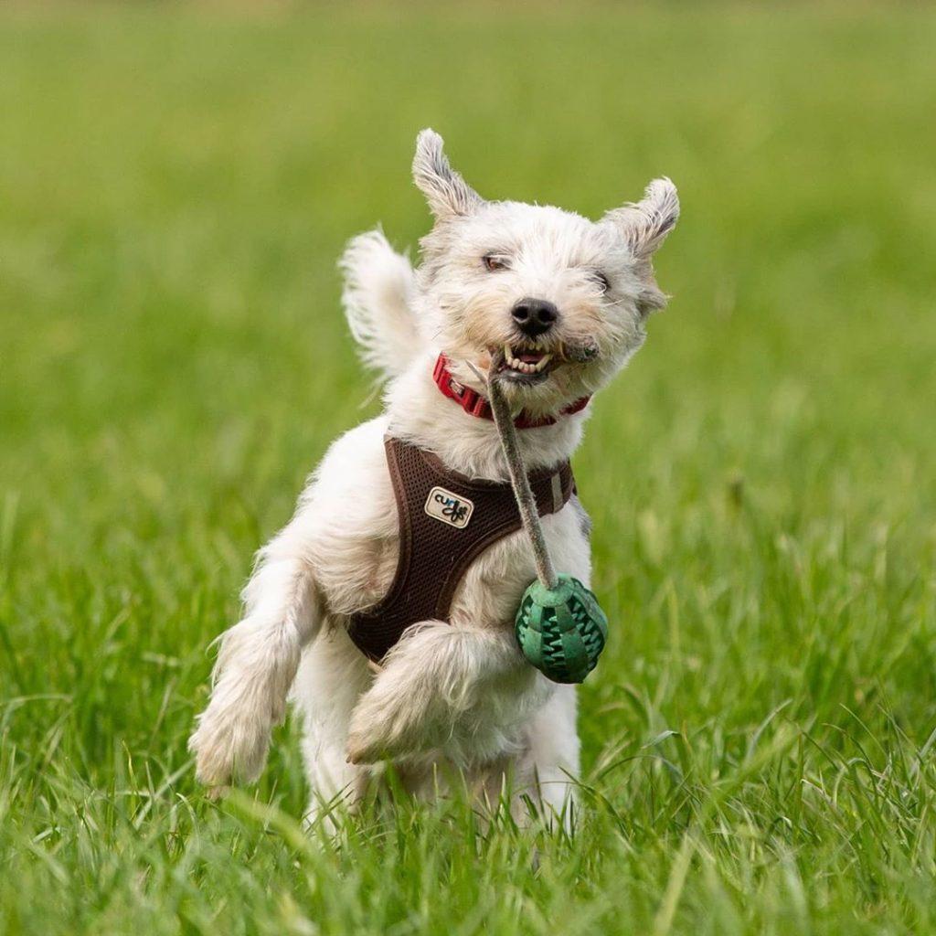 cairn terrier en train de courir