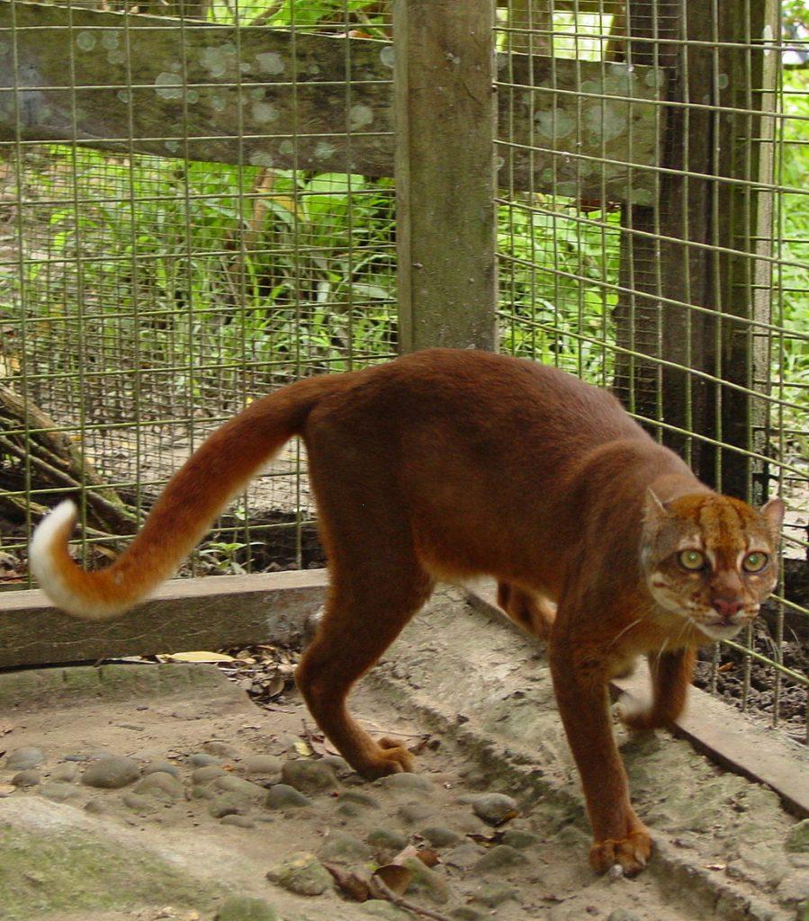 Chat de Bornéo (Chat bai)