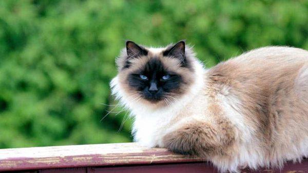 7 races de chats les plus populaires