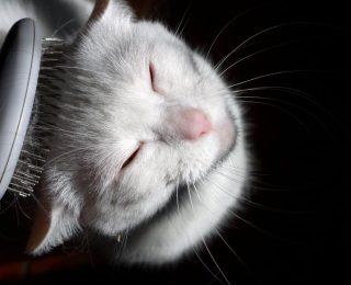 Toilettage du chat : conseils et informations