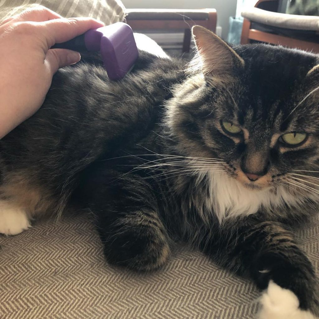 Chat et brosse