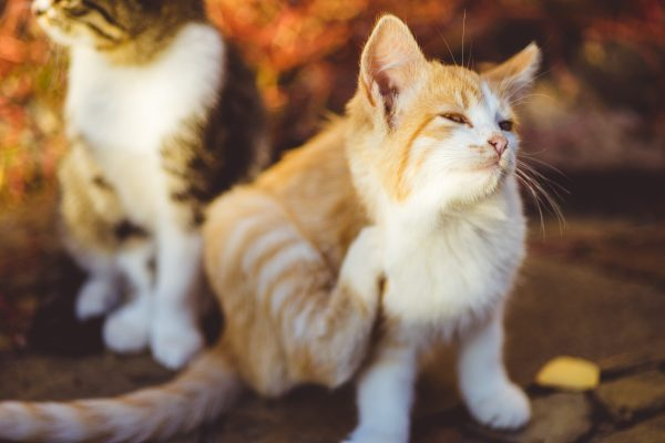 Limiter les démangeaisons du chat grâce aux médecines naturelles