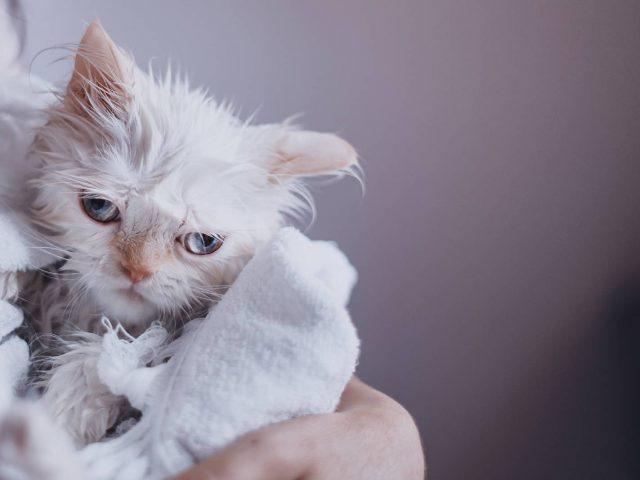 Comment laver son chat ?