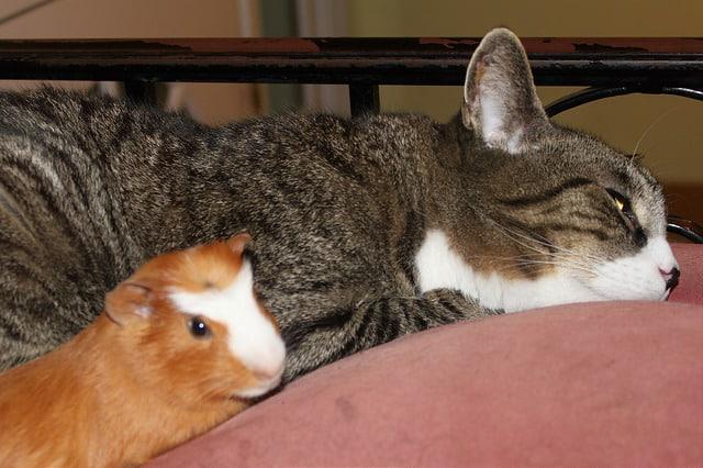chat et cochon d'Inde