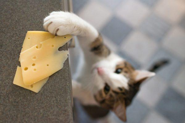 Le chat peut-il manger du fromage ?