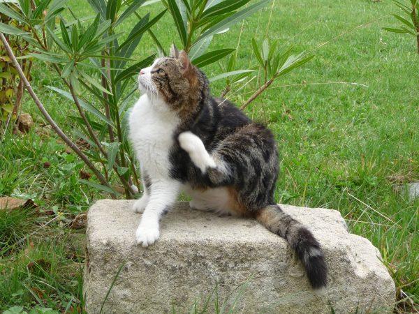 Puces du chat : traitement et conseils
