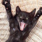 Mauvaise haleine du chat : causes et traitements