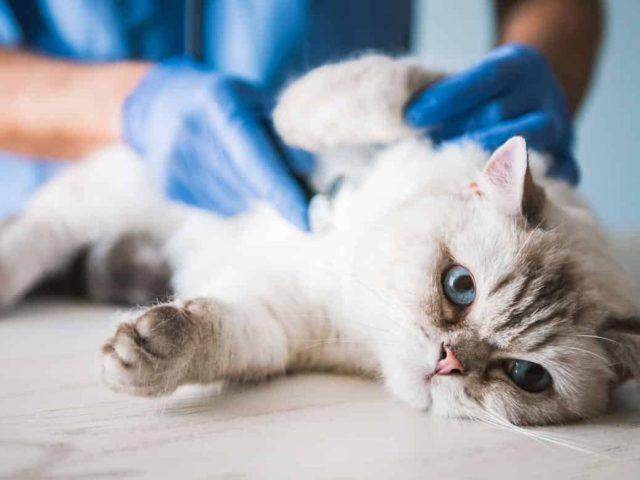 Les maladies du chat