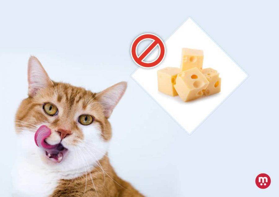 Les chats peuvent-ils manger du fromage ?