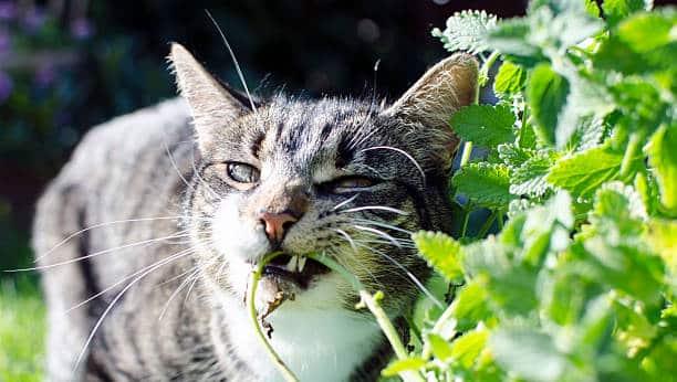 Quelles plantes le chat peut-il consommer ?