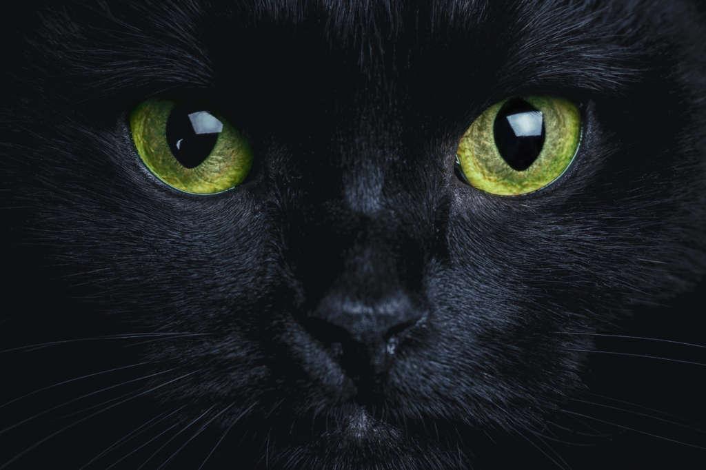 Adopter Un Chat Noir