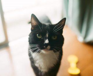 La gingivite chez le chat