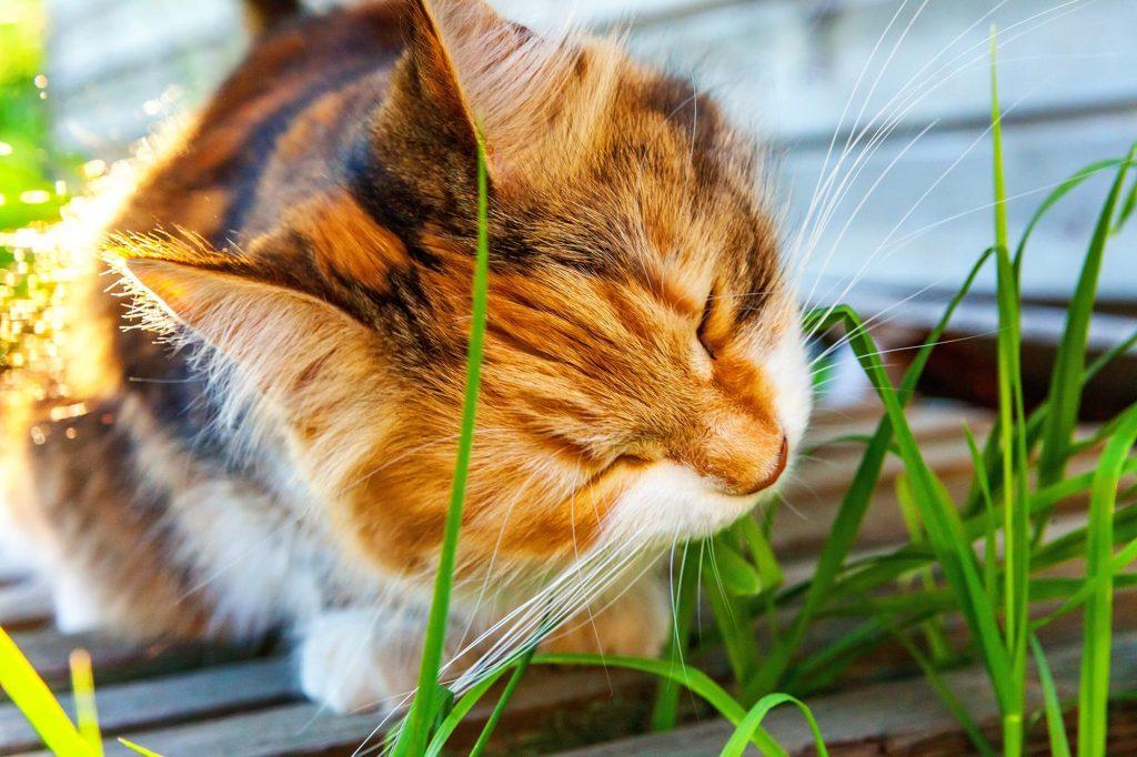Herbe à chat et chat
